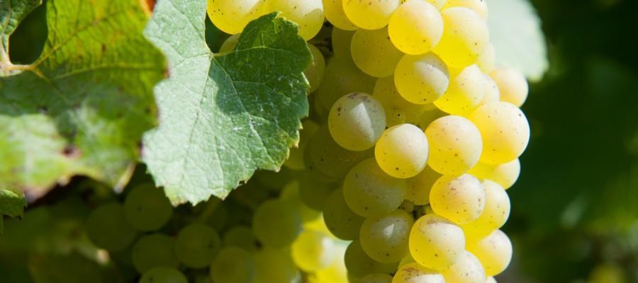 terroir d'Alsace - diversité aromatique