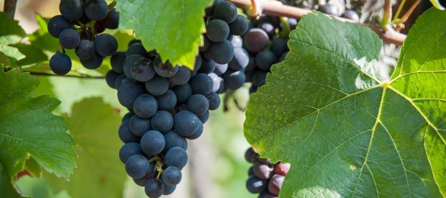 terroir alsacien Maison Hauller - développement qualitatif vignes et vins
