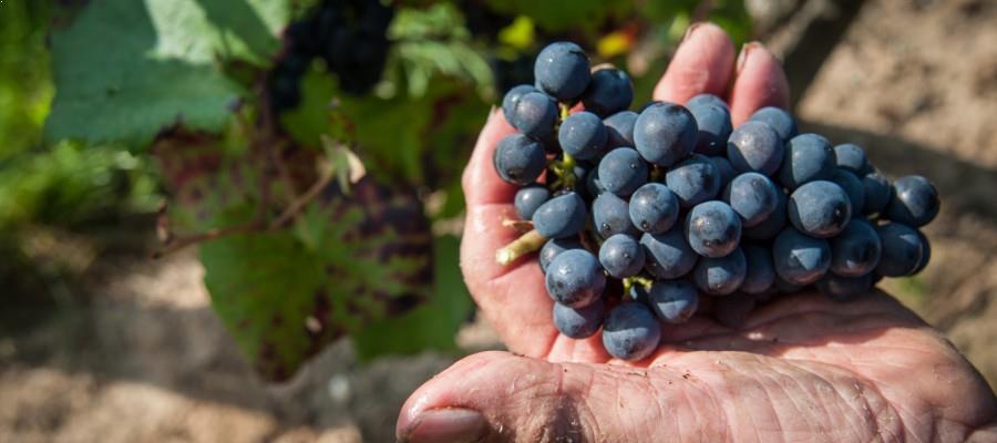 vignoble d'Alsace - belle grappe raisin vignes hauller