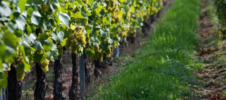 terroir alsacien - vignobles Maison Hauller