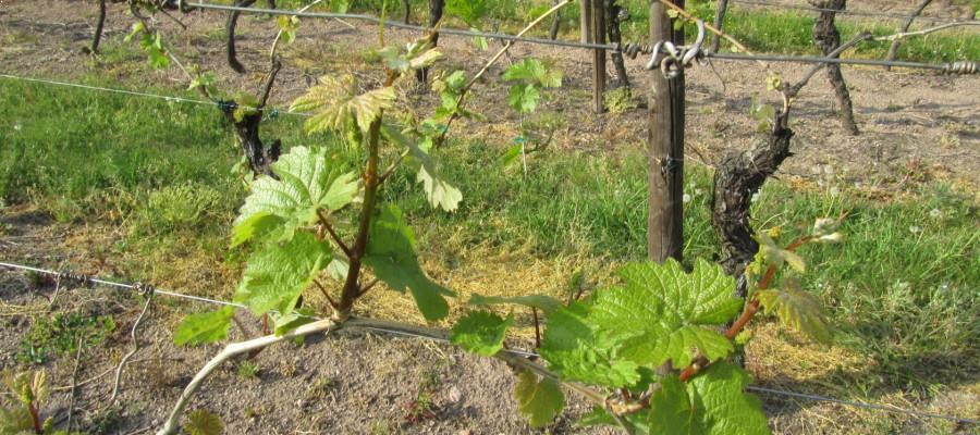 vignoble maison hauller étendu sur 119 communes d'Alsace