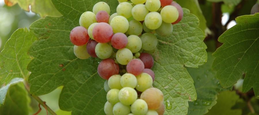 vignoble alsacien maison hauller belle grappe de raisin