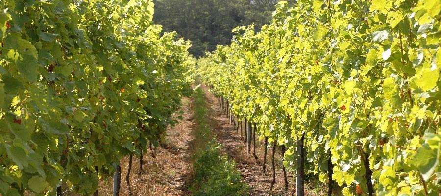 vignoble alsacien maison hauller adossé au versant Est du Massif des Vosges